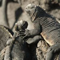 Two Marine Iguanas Showing Affection Galapagos, E