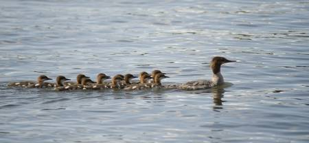 Duck And Ducklings Swimming In A Row