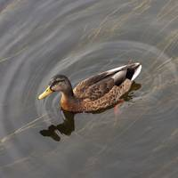 Duck Swimming In Clear Water St. Petersburg, Russ
