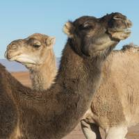 Two camels and a blue sky