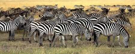 Herd Of Burchell's Zebra And Wildebeest, Masai Ma