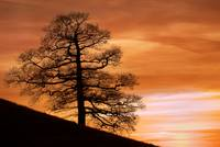Tree Against A Sunset Sky, Nottinghamshire, Englan