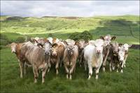 Dairy Cattle, Derbyshire, England
