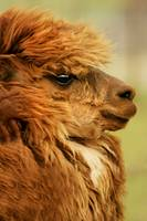 Profile Of A Camelid