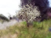 White Blooming Tree- Spring