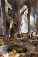 Foraging-Whitetail Deer (D1187-016)