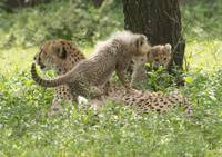 Mama Cheetah and Two Young Cubs