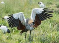 Crested Crane Courtship Dance Two