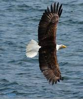 Bald eagle in flight smiling