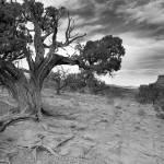 """Bristlcone Pine Canyonlands, Utah"" by CSlanecPhoto"