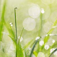 Dewdrops in the Sunlit Grass Square Format