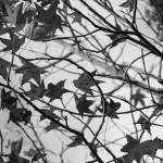 """Black and White Leaves"" by Groecar"
