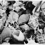 """Black and White Shells"" by Groecar"