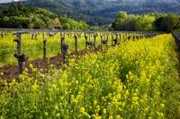 Yellow Mustard and Old Vine