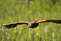 Hawk in Flight