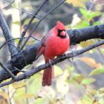 """Cardinal in Central Park"" by tiffanyartandphotography"