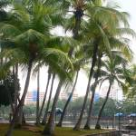 """Tropic coconut tree, Singapore"" by sghomedeco"