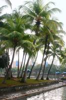 Tropic coconut tree, Singapore