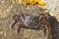 A Hawaiian crab
