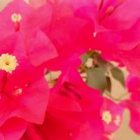 """Bougainvillea Close Up"" by Marvin Ford"