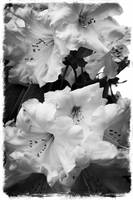 Rhododendron in Black and White