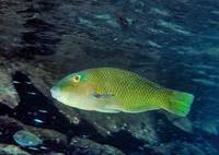 Unknown Wrasse Fish