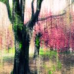 """Weeping Cherry Impressions"" by JessicaJenney"