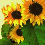 """Three Sunflowers"" by judithschmidt"