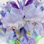 """Blue background with two white  irises"" by piacheva"