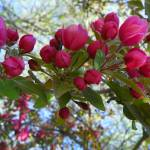 """Crab Apple Blossom"" by vpicks"