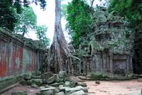 Tree roots in the TaProhm Temple, Cambodia