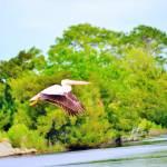 """""""pelican in flight 2"""" by bawhiddon1"""