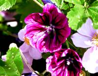 Lummi Purple Flower