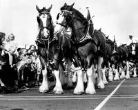 Clydesdale Horses Vintage
