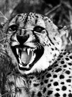 Cheetah shows teeth