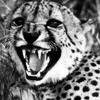 """Cheetah shows teeth"" by Retro Images Archive"