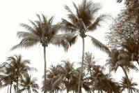 Original Monochrome - tropic coconut tree