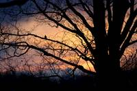 Mourning Dove at Sunset