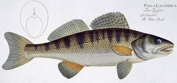 Pike-Perch (Perca lucioperca)
