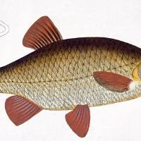 Red Carp (Cyprinus Erithrophthalmus) Art Prints & Posters by The Fine Art Masters