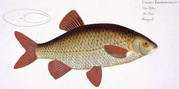 Red Carp (Cyprinus Erithrophthalmus)