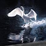 """Graceful Swan"" by ShadowPlayer"
