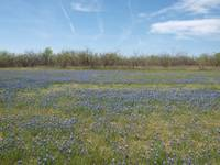 Blue Bonnets Paint A Field Blue