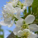 """""""Cherry Blossom"""" by vpicks"""