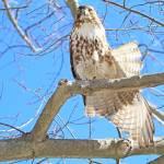"""""""Red-tailed Hawk"""" by shelshots"""