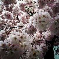 Blossoms In Park