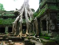 Tree roots in the Ta Prohm temple Cambodia