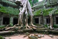 Trees roots overgrowing buildings in the Ta Prohm