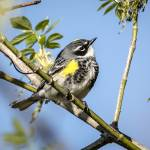 """Yellow-rumped Warbler"" by WildAboutNaturePhotography"