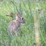 """Cottontail"" by WildAboutNaturePhotography"
